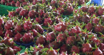 Bình Thuận: Nông dân tất bật cho mùa Thanh Long trái vụ